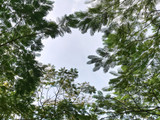 Low Angle View of Tree Canopy Through Clear Sky - 235335662