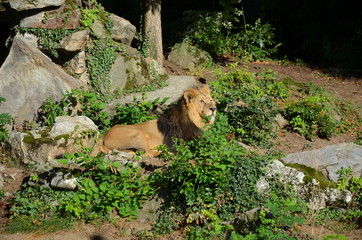 The lion relaxing in the Zoo of Frankfurt, Germany