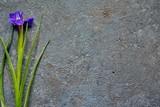 exquisite purple iris flower on natural stone background