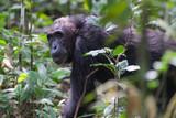 alte Schimpansendame im Dschungel von Uganda