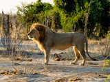 Löwe, Savuti