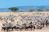 Zebras and wildebeest crossing the Serengeti in - 235396211