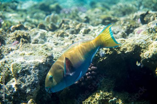 fototapeta na ścianę Red Sea Egypt fish ocean coral underwater
