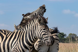 Zebra fooling about