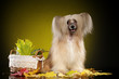 Chinese crested dog sitting on a dark yellow background