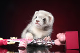 Ferret puppy lying on red background - 235445668