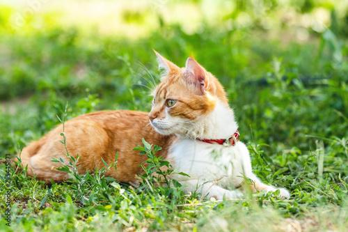 Śliczny śmieszny czerwony biały kot w czerwonym kołnierzu na zielonej trawie w lato ogródzie