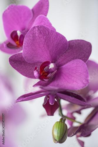phalaenopsis in bloom - 235455097