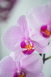 phalaenopsis in bloom © Max
