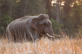 Wild elephant.