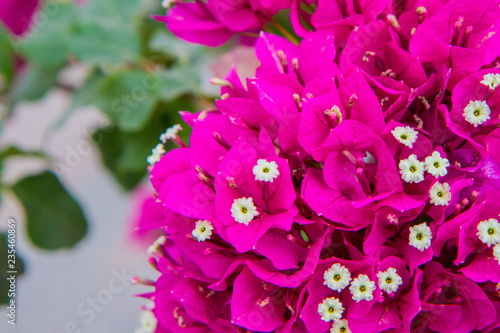 Bougainvillea plant blooming - 235460869