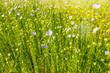 champ de lin en fleur - 235466282