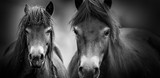 exmoor ponies close up © Vera Kuttelvaserova