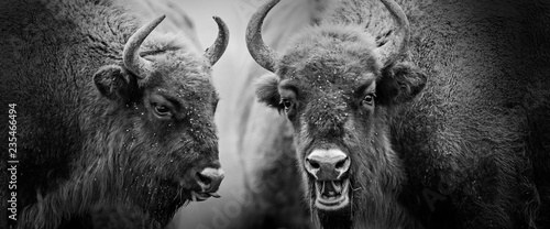 european bisons close up