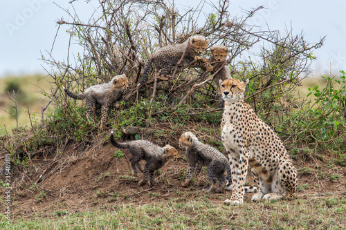 Cheetah mother with her cubs playing on an anthill - Masai Mara National Park - Kenya