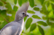 Grey go-away-bird, Corythaixoides concolor, grey lourie detail portrait in the green vegetation. Turaco in the nature habitat, tree leaves. Wildlife scene from nature.