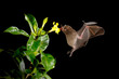 Quadro Night nature, Pallas's Long-Tongued Bat, Glossophaga soricina, flying bat in dark night. Nocturnal animal in flight with red feed flower. Wildlife action scene from tropic nature, Costa Rica.