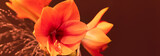 Amaryllis in orange, Blüten, Panorama