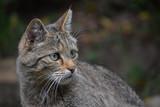 European wildcat side profile portrait close up - 235547270