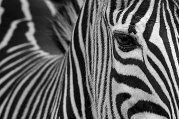 zebra portrait;
