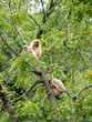 Two White Monkeys In a Tree In Bright Day