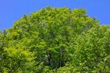 ブナ新緑と青空 - 235587818