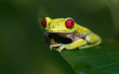 Red=eyed Tree Frog in Costa Rica