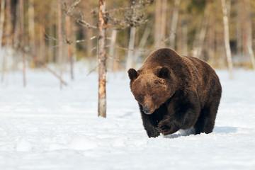 Brown bear walking in the snow © lucaar