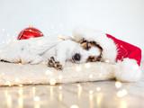 Sleeping dog in christmas hat © Tatyana Gladskih