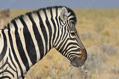 Zebra im Etosha Nationalpark in Namibia - 235635229