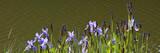 Schwertlilie, (Iris),