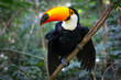 Leinwandbild Motiv Colorful toucan in the aviary