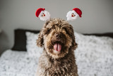 .Sweet spanish water dog in her home wearing christmas costume, lying on her bed. Holydays at home. Lifestyle.