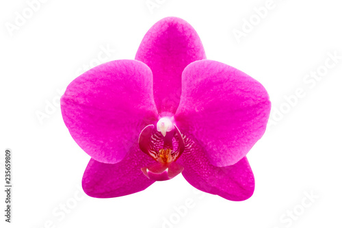 pink Phalaenopsis or Moth dendrobium Orchid flower in winter or spring day tropical garden isolated on white background.Selective focus.agriculture idea concept design with copy space add text. - 235659809
