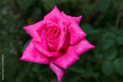 beautiful pink rose flower blooming in roses garden