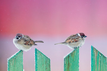 two cute funny birds sparrows sit in the winter garden on a wooden old fence and look in different directions