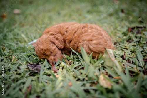 fototapeta na ścianę Liitle brown poodle having a nap