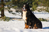 Bernese mountain dog junior male posing in the snow.