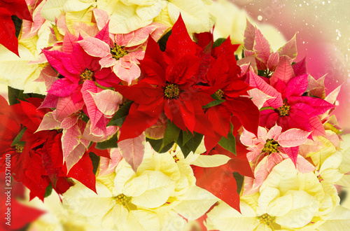 Leinwandbild Motiv fresh poinsettia flowers or christmas star background