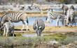 Zebras in der Savanne vom Etosha Nationalpark