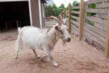 Goat outdoors at farm - 235721445