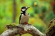 Buntspecht (Dendrocopos major) sitzt auf Ast