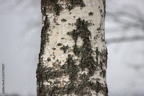 young birch trees with ornament on the bark