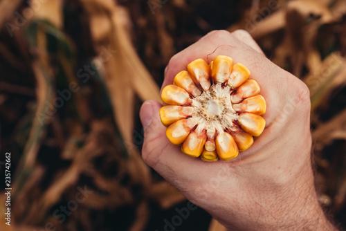 Leinwandbild Motiv Farmer holding corn on the cob broken in half