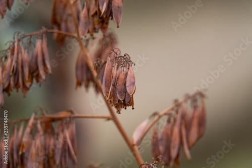 Plume Poppy Fruits in Autumn - 235748470