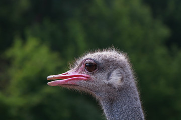 Head shot of an ostrich looking at the camera