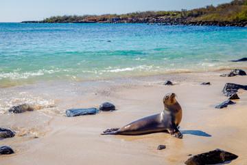 Plage mer Otarie des Galapagos Animal Faune voyage © Loïc Bourgeois