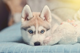 Siberian husky puppy with blue eyes purebred laying on the bed with white plush toy bunny. Toned image. - 235762061