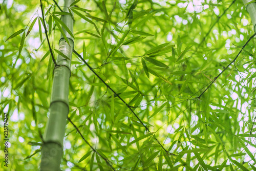 bamboo nature plant