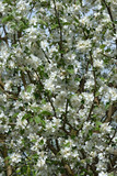 Many flowers of blooming apple tree in sunlight as background.